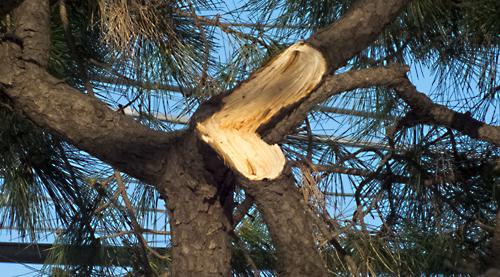 松の枝が折れる