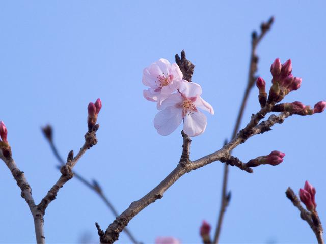 ソメイヨシノ?開花