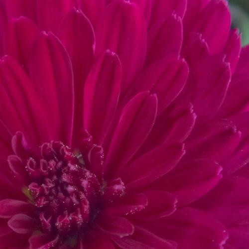菊の花クローズアップ