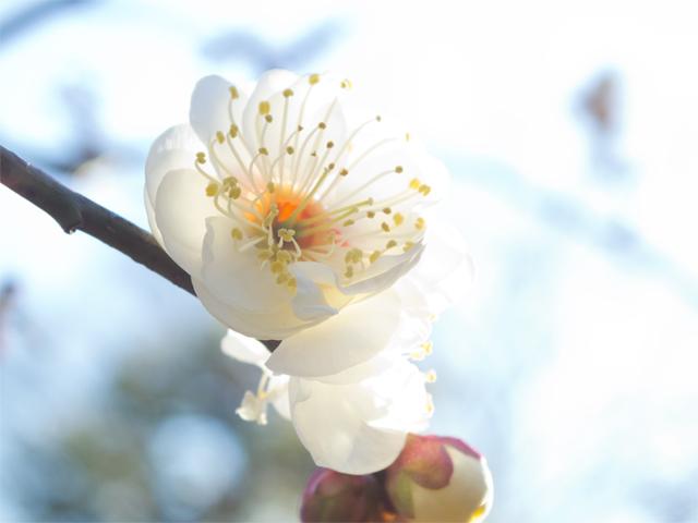早咲き 白梅
