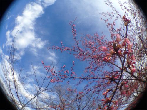 魚眼 河津桜