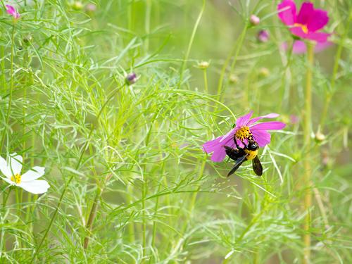 コスモスとクマバチ