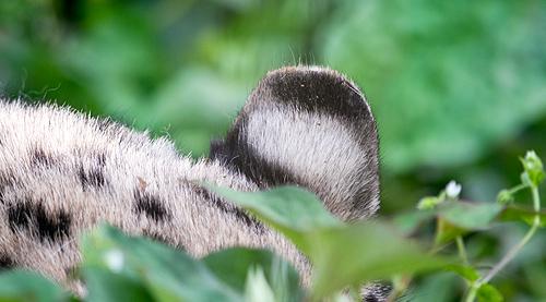 ユキヒョウ耳
