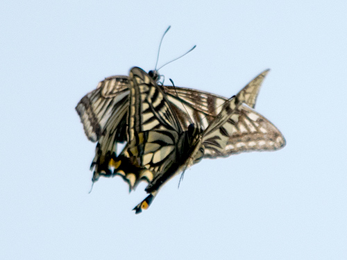アゲハ蝶バトル