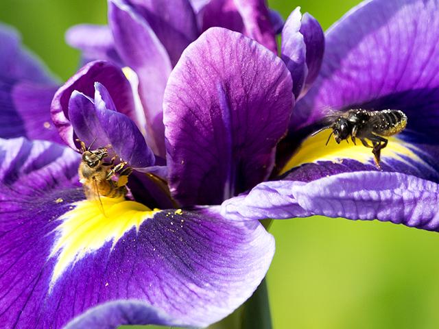 セイヨウミツバチ・ニホンミツバチ