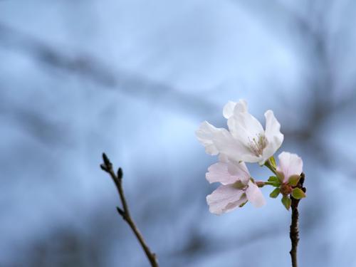 桜狂い咲き