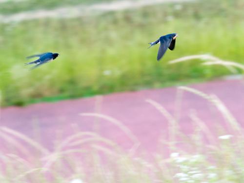 ツバメ幼鳥
