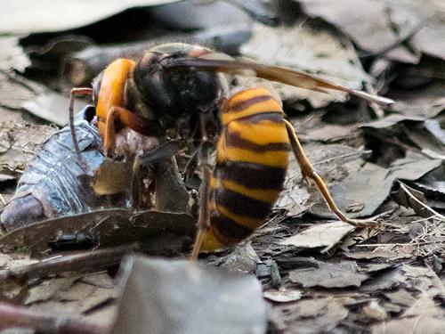 セミを解体するスズメバチ