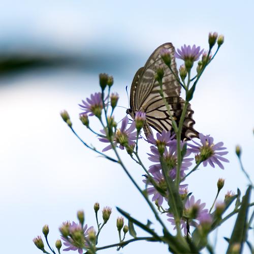 アゲハチョウと紫苑