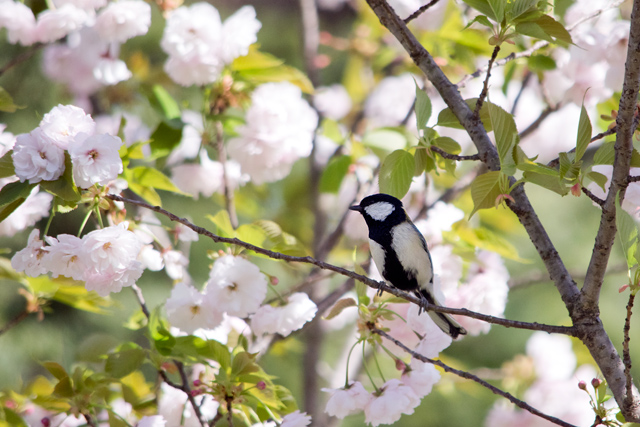 八重桜とシジュウカラ
