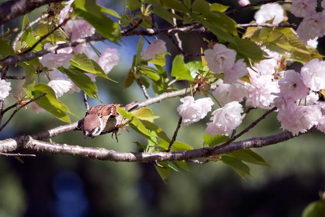 八重桜とスズメ