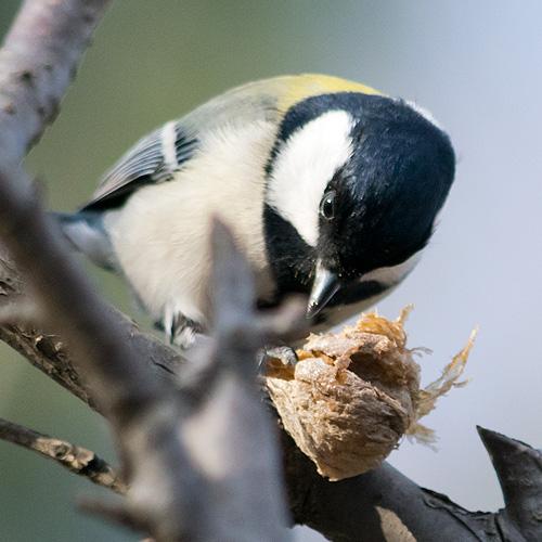 カマキリ卵塊を食べるシジュウカラ