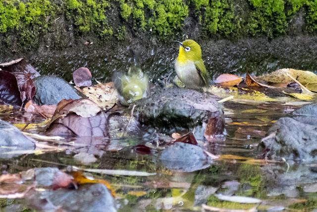 メジロ水浴び