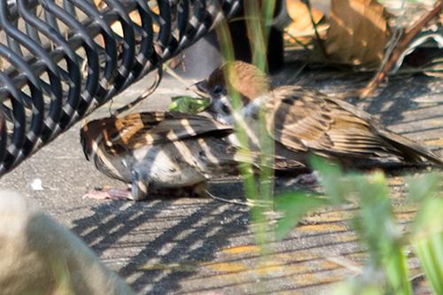 子雀に給餌