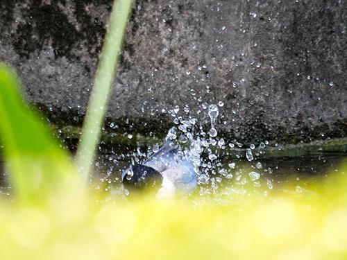 オナガ水浴び