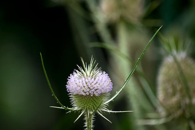 ラシャカキグサの花