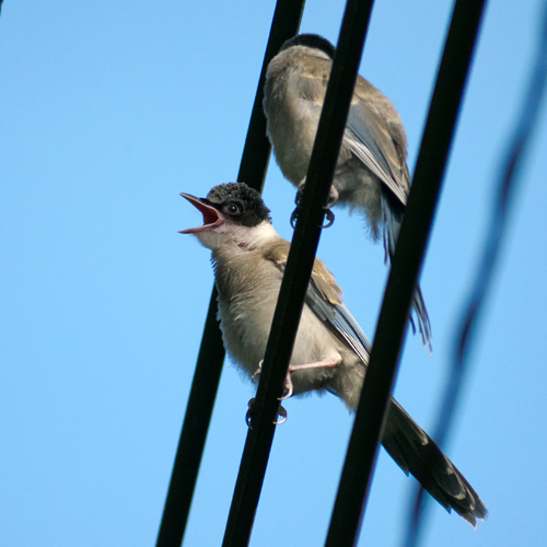 オナガ幼鳥