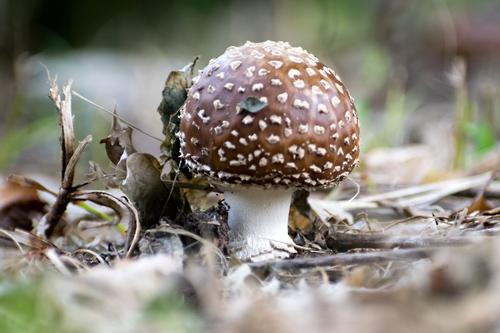テングタケ幼菌