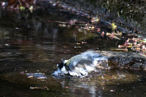 シジュウカラ水浴び