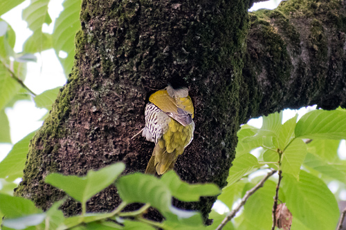 アオゲラの巣