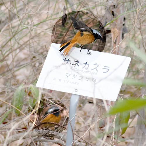 ジョウビタキ2羽