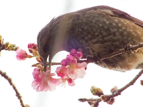 ヒヨドリ 梅の花も食べちゃう?