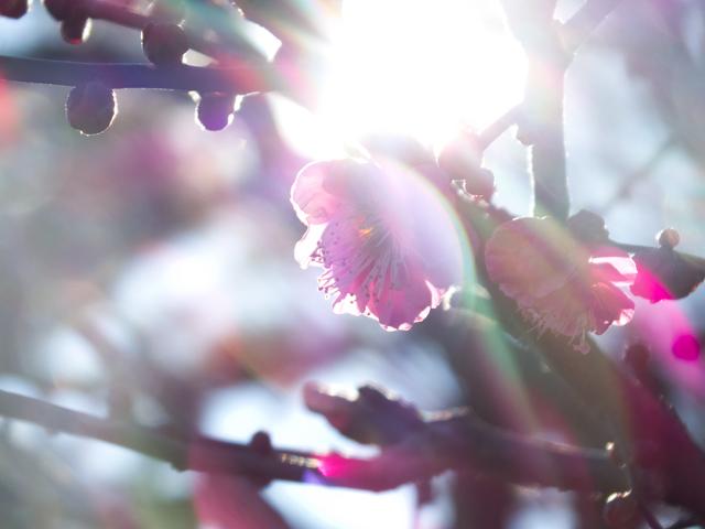 早咲き 紅梅