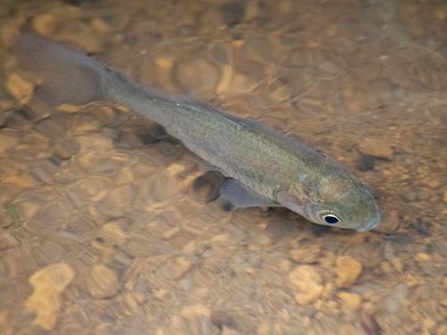用水の小型淡水魚