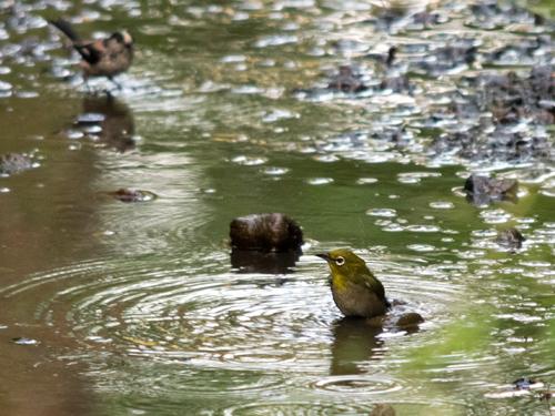 水浴び エナガ・メジロ