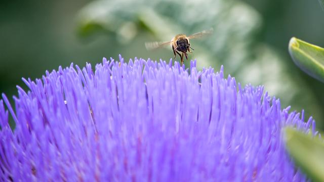 アーティチョークの花とミツバチ