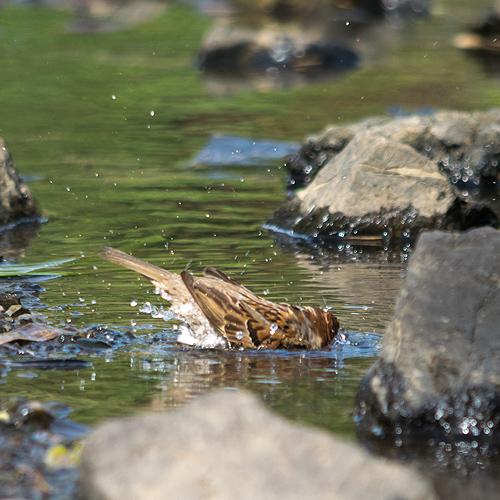 スズメ水浴び