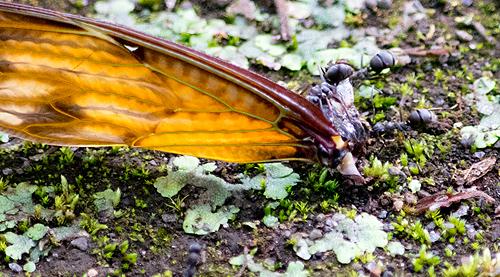 セミの羽を引きずるアリ