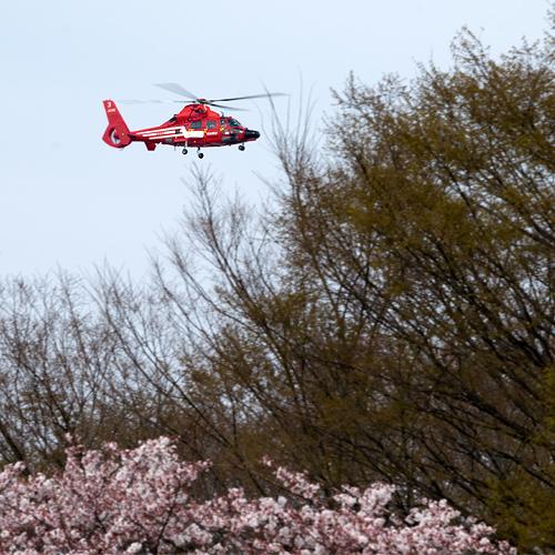 消防ヘリと桜