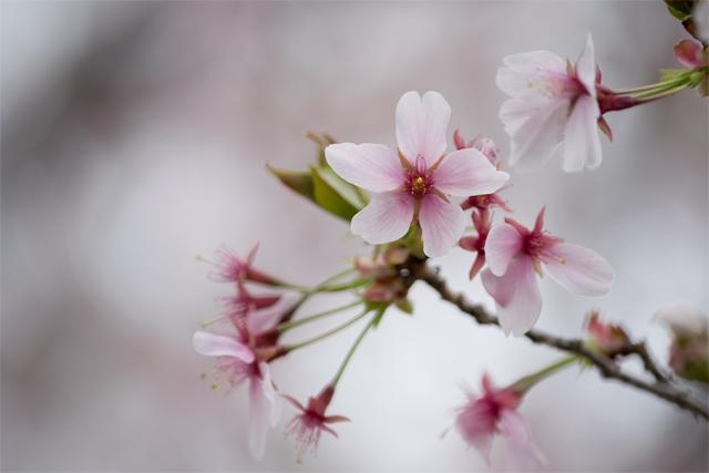 ソメイヨシノと山桜のハイブリッド