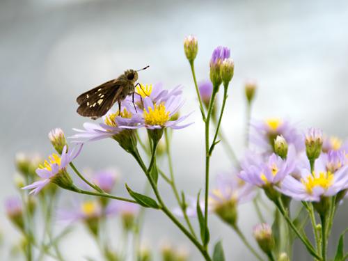 セセリチョウと紫苑