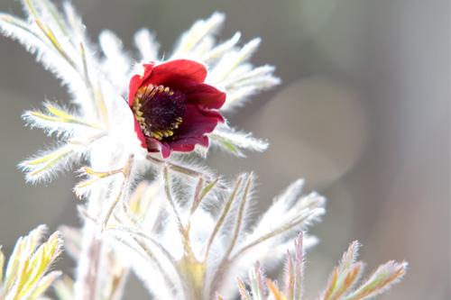 オキナグサ花