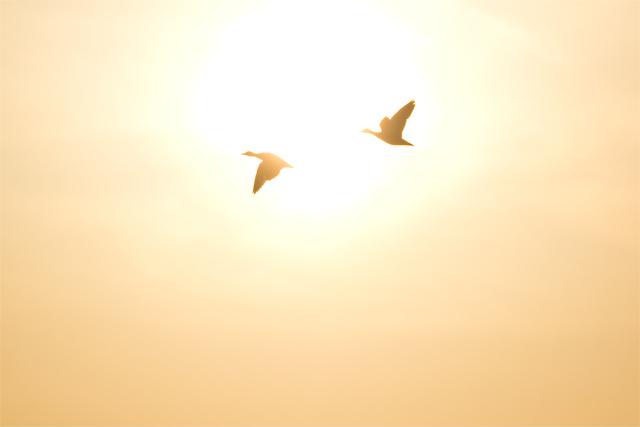 カルガモ 飛翔