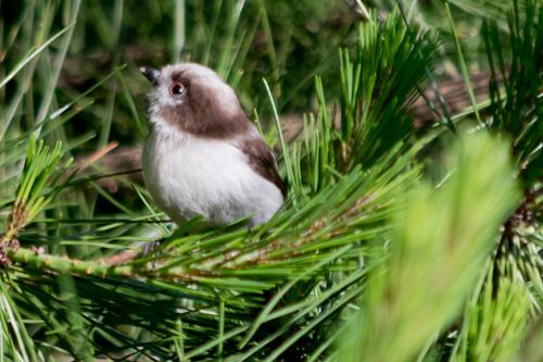 エナガ若鳥