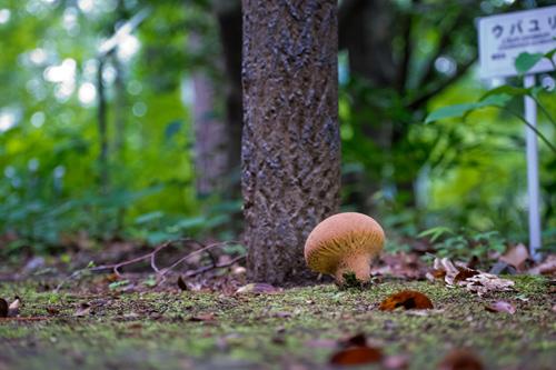 オオノウタケ幼菌