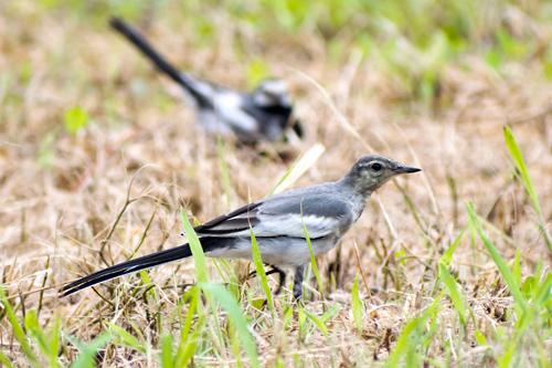 ハクセキレイ幼鳥と親