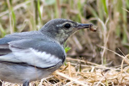 ハクセキレイ幼鳥獲物