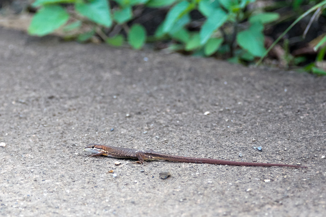 カナヘビの子