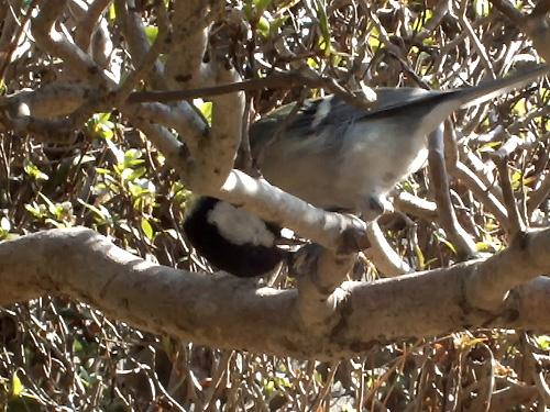 ヒマワリの種を食べるシジュウカラ